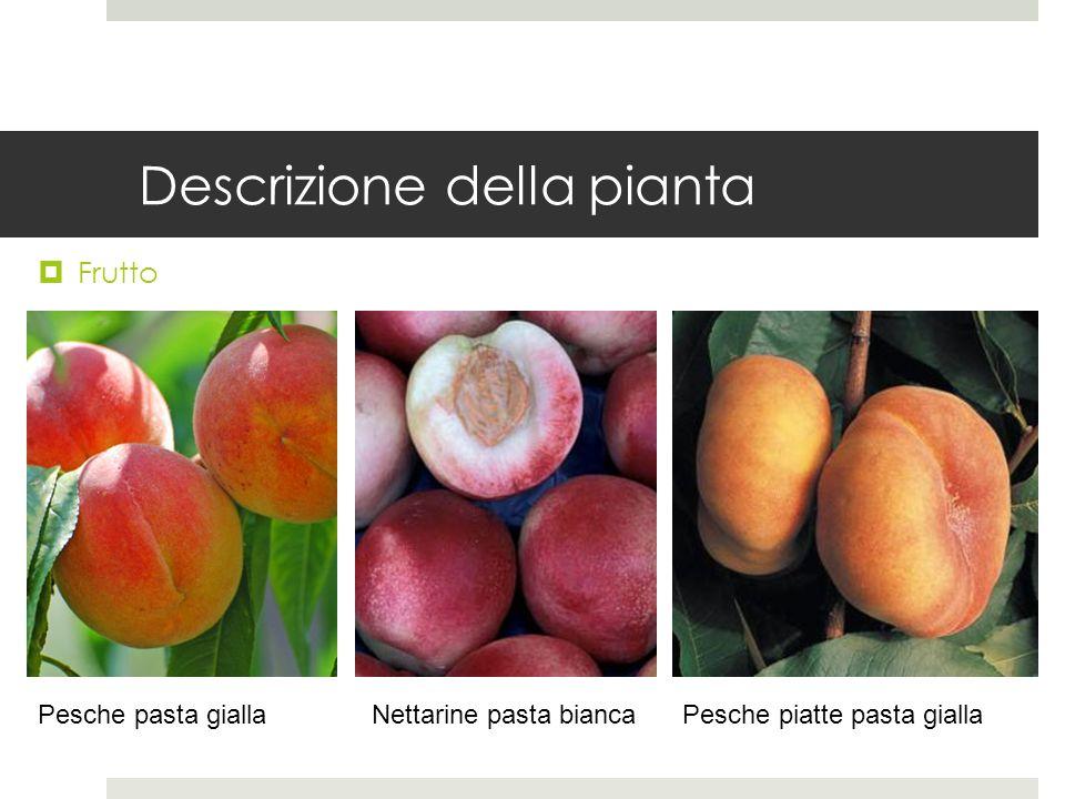 Descrizione della pianta Frutto Pesche pasta giallaNettarine pasta biancaPesche piatte pasta gialla