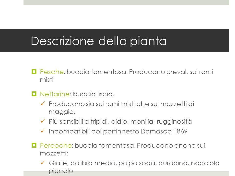 Descrizione della pianta Pesche: buccia tomentosa. Producono preval. sui rami misti Nettarine: buccia liscia. Producono sia sui rami misti che sui maz