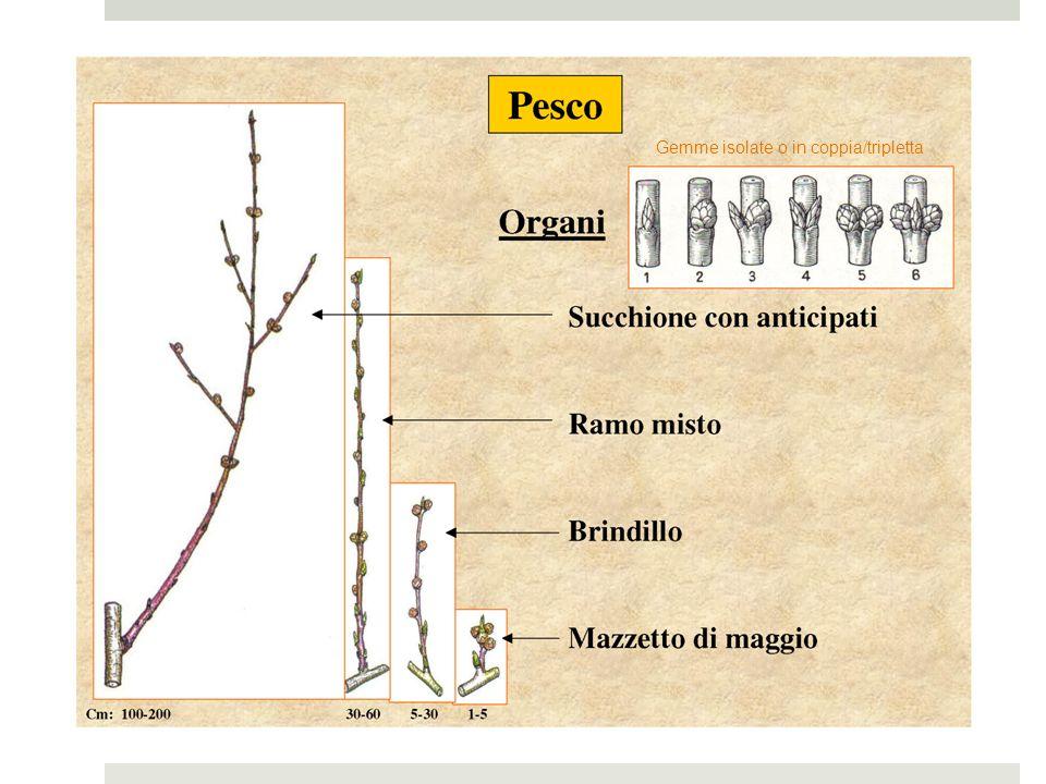 Cultivars (nord Italia) Pesche gialle (ancora le più diffuse, anche se progressivamente sostituite dalle nettarine): Data di maturazione di Redhaven: 20 luglio Maturazione precocissima Cv.