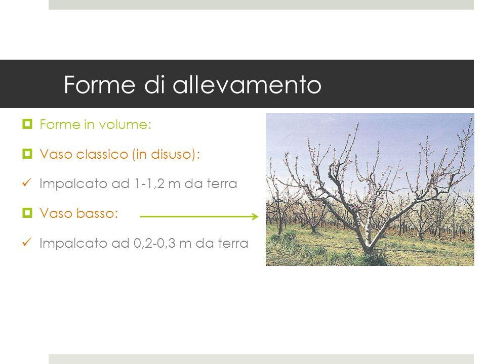 Forme di allevamento Forme in volume: Vaso classico (in disuso): Impalcato ad 1-1,2 m da terra Vaso basso: Impalcato ad 0,2-0,3 m da terra