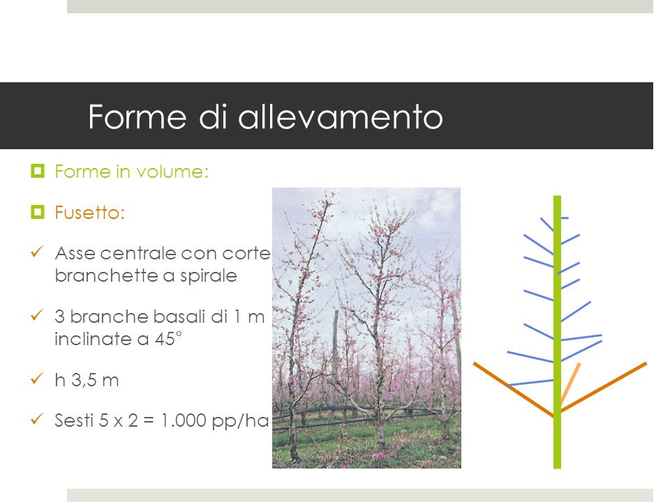 Forme di allevamento Forme in volume: Fusetto: Asse centrale con corte branchette a spirale 3 branche basali di 1 m inclinate a 45° h 3,5 m Sesti 5 x