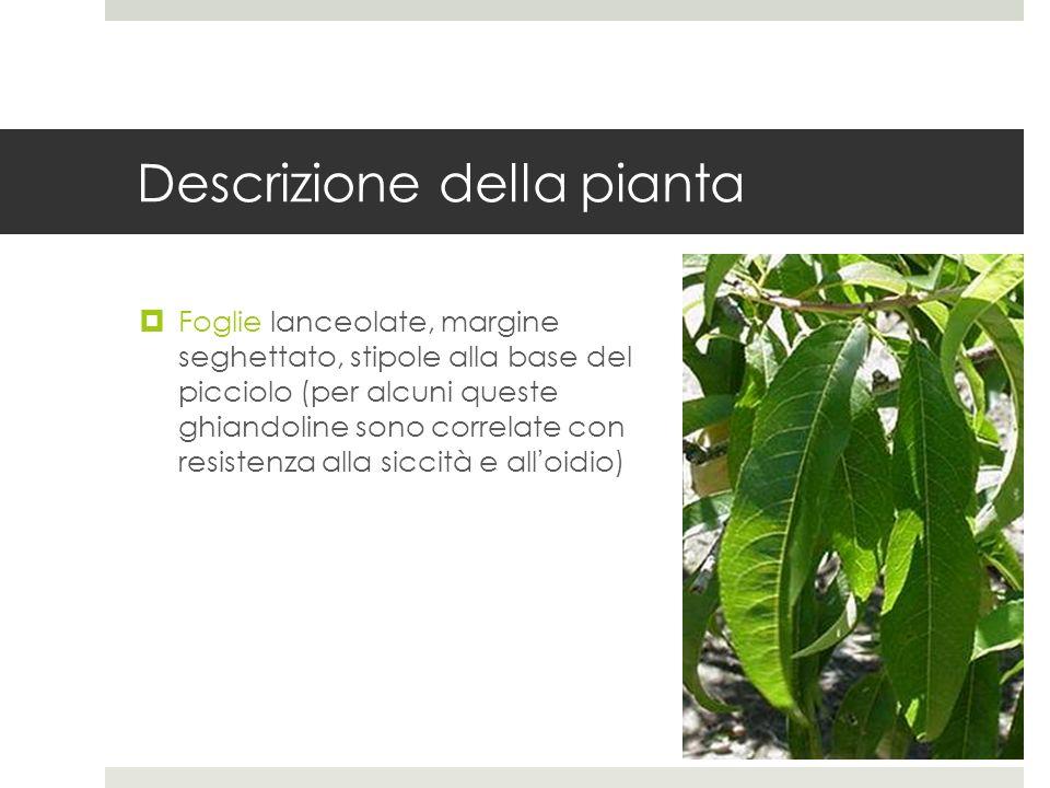 Descrizione della pianta Foglie lanceolate, margine seghettato, stipole alla base del picciolo (per alcuni queste ghiandoline sono correlate con resis