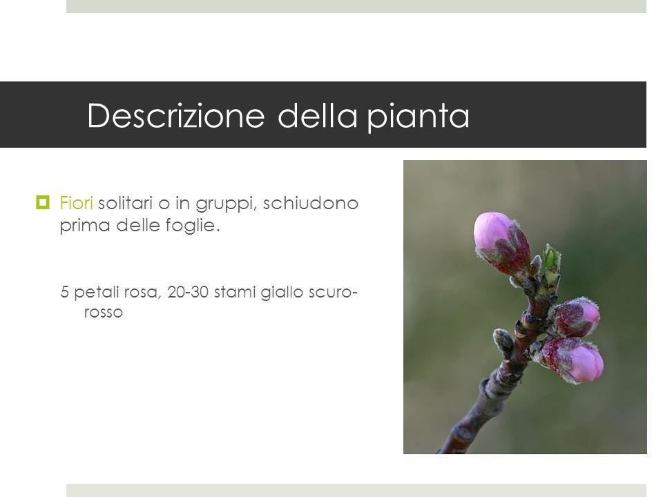 Descrizione della pianta Fiori solitari o in gruppi, schiudono prima delle foglie. 5 petali rosa, 20-30 stami giallo scuro- rosso