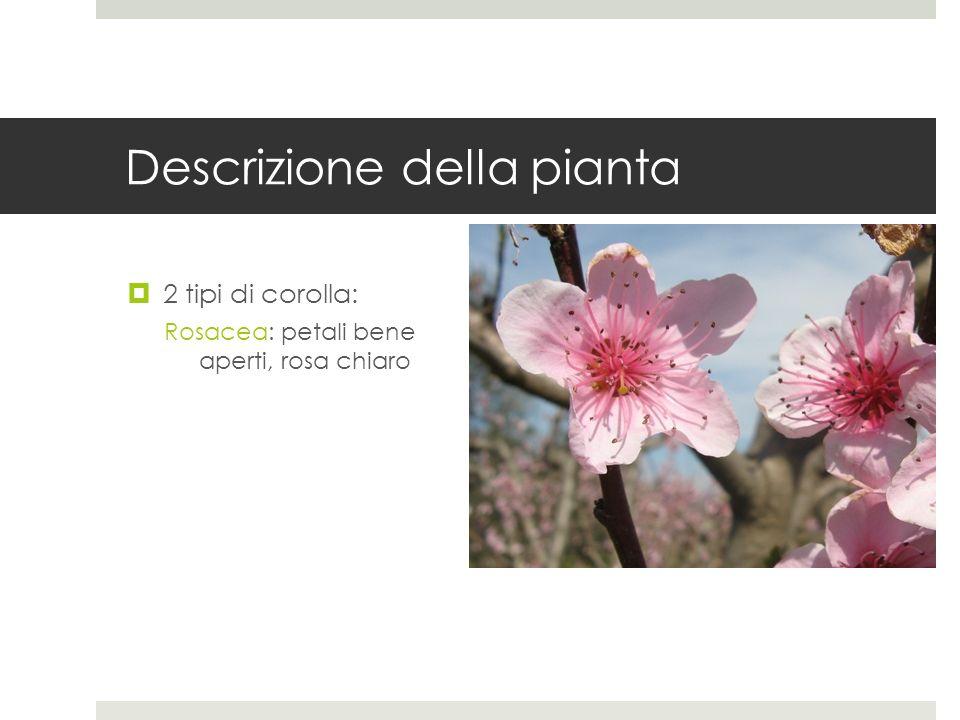 Descrizione della pianta 2 tipi di corolla: Campanulacea: petali piccoli, rosa scuro, che non si aprono del tutto