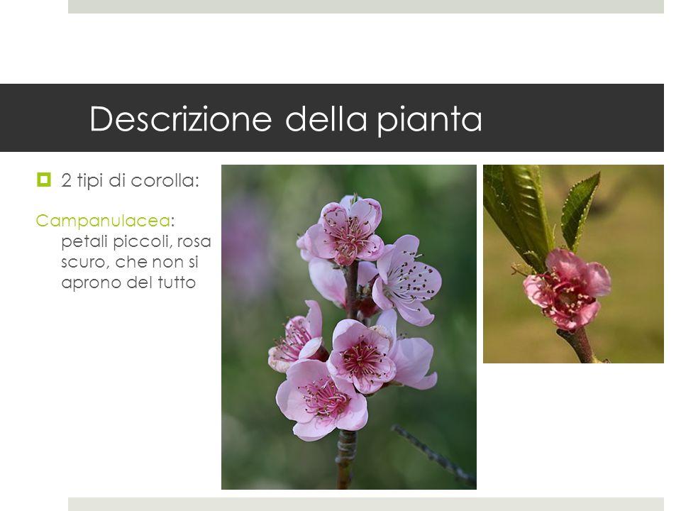 Descrizione della pianta Frutto: drupa, con buccia tomentosa (pesche e percoche), o glabra (nettarine).