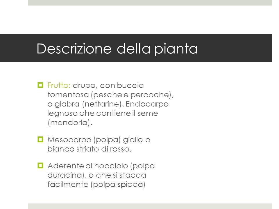 Descrizione della pianta Frutto: drupa, con buccia tomentosa (pesche e percoche), o glabra (nettarine). Endocarpo legnoso che contiene il seme (mandor