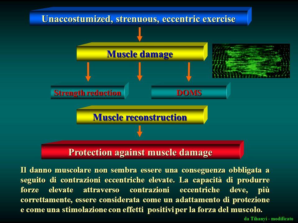 Sarcomerogenesi radiale La capacità del muscolo di esprimere forza può essere incrementata attraverso contrazioni muscolari di tipo eccentrico che qua