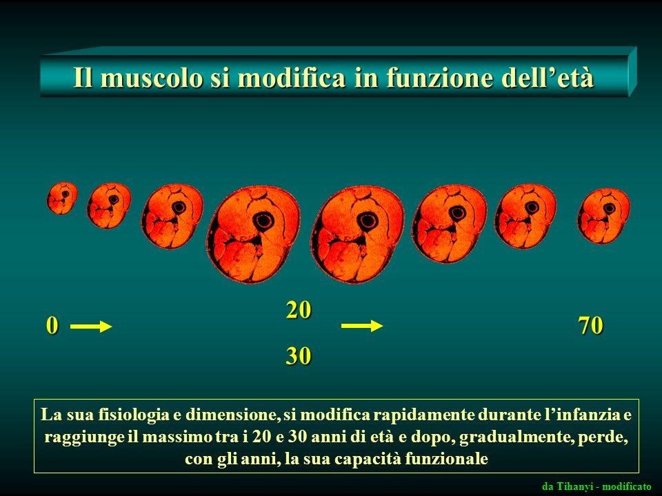 Il muscolo si modifica in funzione delletà 0 2030 70 La sua fisiologia e dimensione, si modifica rapidamente durante linfanzia e raggiunge il massimo tra i 20 e 30 anni di età e dopo, gradualmente, perde, con gli anni, la sua capacità funzionale da Tihanyi - modificato