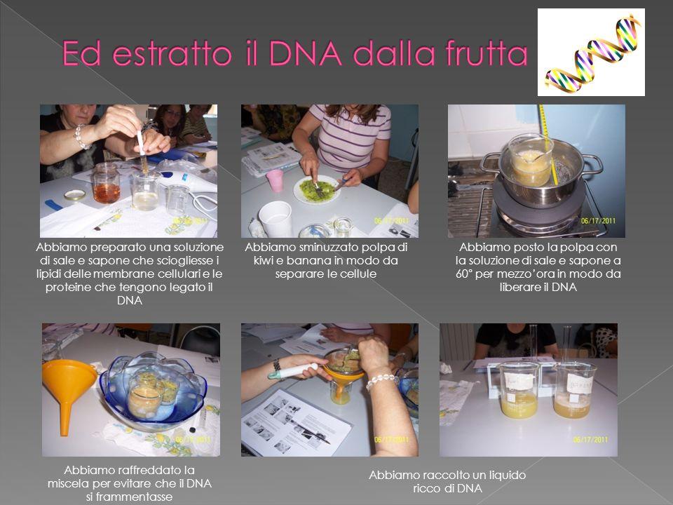 Abbiamo reso visibile il DNA aggiungendo dellalcool puro, con il quale il DNA precipita sotto forma di filamenti biancastri Il DNA è stato raccolto, messo su un vetrino e colorato con un colorante nucleare, blu di metilene, capace di legarsi al DNA Al microscopio osserviamo dei puntini filamentosi blu..