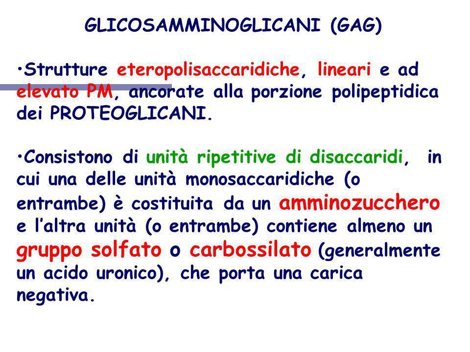GLICOSAMMINOGLICANI (GAG) Strutture eteropolisaccaridiche, lineari e ad elevato PM, ancorate alla porzione polipeptidica dei PROTEOGLICANI. Consistono