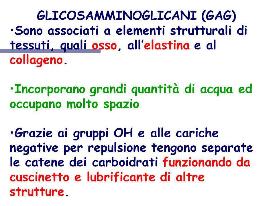 GLICOSAMMINOGLICANI (GAG) Sono associati a elementi strutturali di tessuti, quali osso, allelastina e al collageno. Incorporano grandi quantità di acq