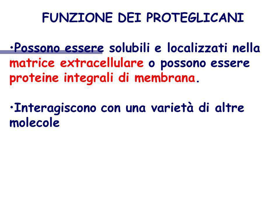 FUNZIONE DEI PROTEGLICANI Possono essere solubili e localizzati nella matrice extracellulare o possono essere proteine integrali di membrana. Interagi
