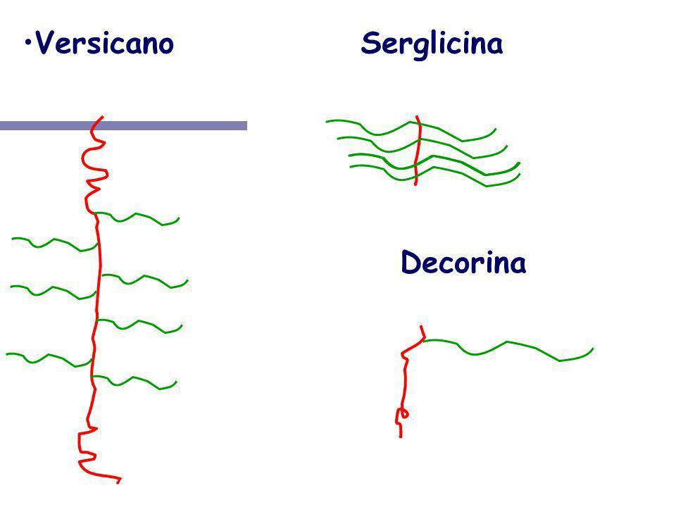 VersicanoSerglicina NH 3 + COO- NH 3 + COO- Decorina NH 3 + COO-