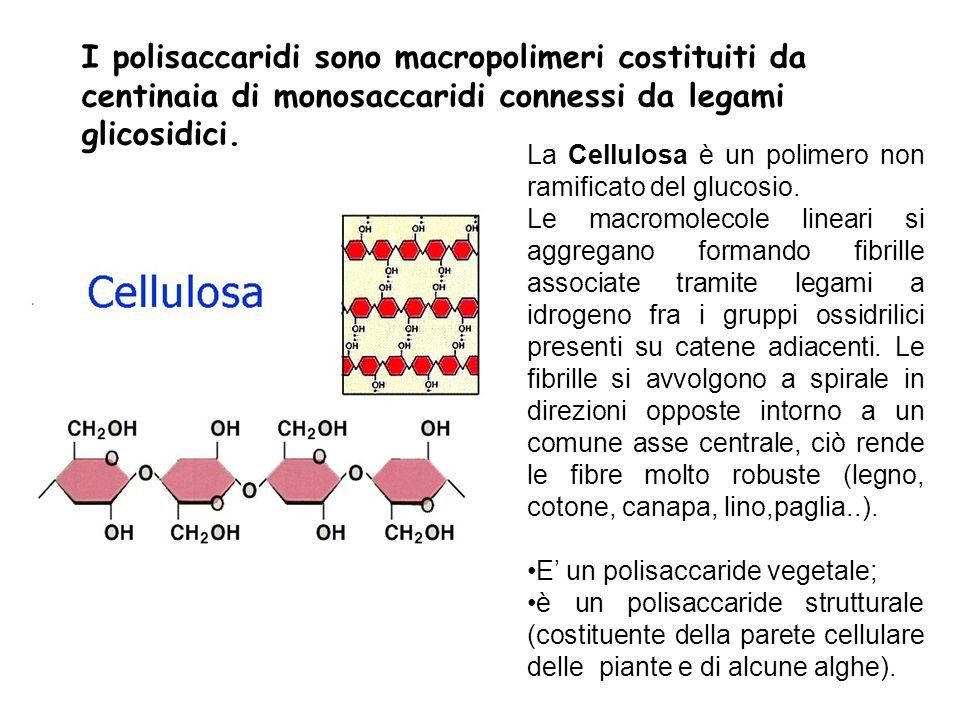 I polisaccaridi sono macropolimeri costituiti da centinaia di monosaccaridi connessi da legami glicosidici. La Cellulosa è un polimero non ramificato