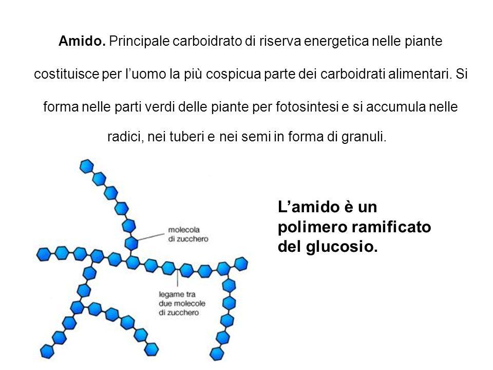 Amido. Principale carboidrato di riserva energetica nelle piante costituisce per luomo la più cospicua parte dei carboidrati alimentari. Si forma nell