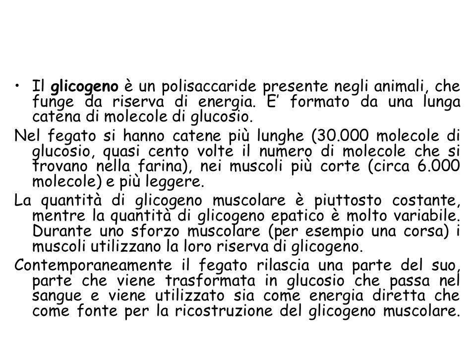 Il glicogeno è un polisaccaride presente negli animali, che funge da riserva di energia. E formato da una lunga catena di molecole di glucosio. Nel fe