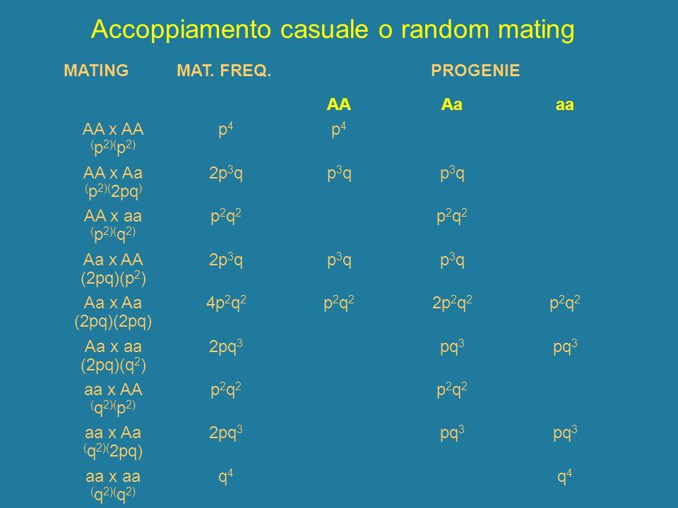 Accoppiamento casuale o random mating MATINGMAT. FREQ. PROGENIE AAAaaa AA x AA ( p 2)( p 2) p4p4 p4p4 AA x Aa ( p 2)( 2pq ) 2p 3 qp3qp3qp3qp3q AA x aa
