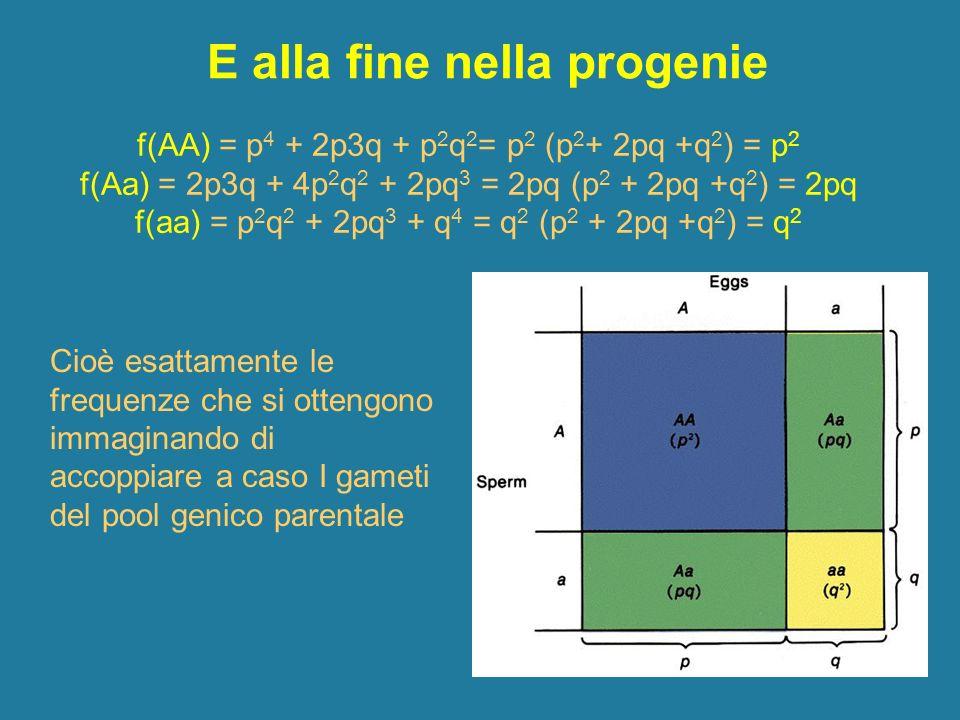 E alla fine nella progenie f(AA) = p 4 + 2p3q + p 2 q 2 = p 2 (p 2 + 2pq +q 2 ) = p 2 f(Aa) = 2p3q + 4p 2 q 2 + 2pq 3 = 2pq (p 2 + 2pq +q 2 ) = 2pq f(