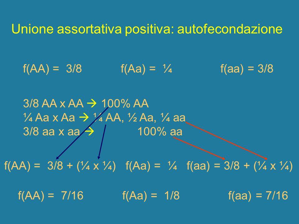 Unione assortativa positiva: autofecondazione 3/8 AA x AA 100% AA ¼ Aa x Aa ¼ AA, ½ Aa, ¼ aa 3/8 aa x aa 100% aa f(AA) = 3/8 f(Aa) = ¼ f(aa) = 3/8 f(A
