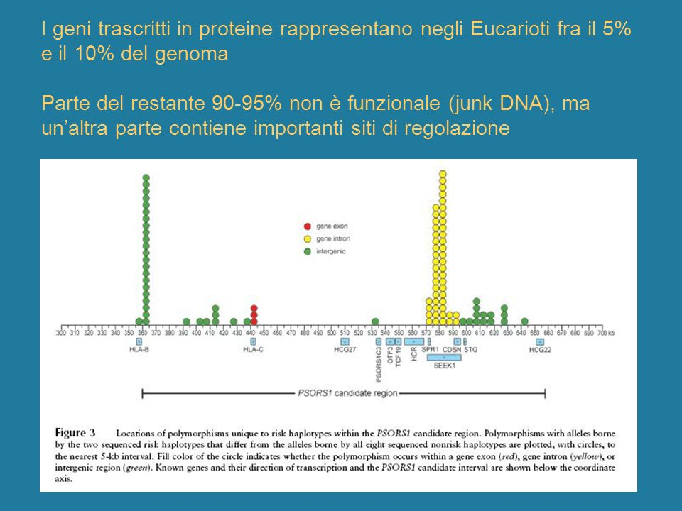 I geni trascritti in proteine rappresentano negli Eucarioti fra il 5% e il 10% del genoma Parte del restante 90-95% non è funzionale (junk DNA), ma un