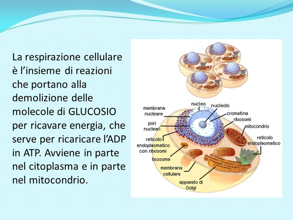 In conclusione la respirazione cellulare può essere rappresentata: C 6 H 12 O 6 + 6 O 2 6 H 2 O + 6 CO 2 + energia (38 ATP).