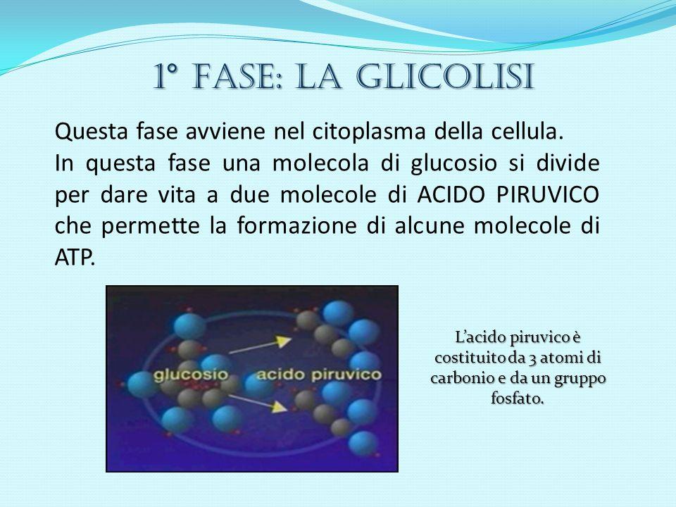 1° Fase: LA GLICOLISI Questa fase avviene nel citoplasma della cellula. In questa fase una molecola di glucosio si divide per dare vita a due molecole