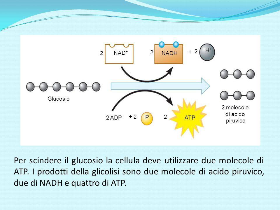 NAD NADH H Glucosio 2 molecole di acido piruvico ATP 2 P 2 ADP 2 2 2 2 + + Per scindere il glucosio la cellula deve utilizzare due molecole di ATP. I