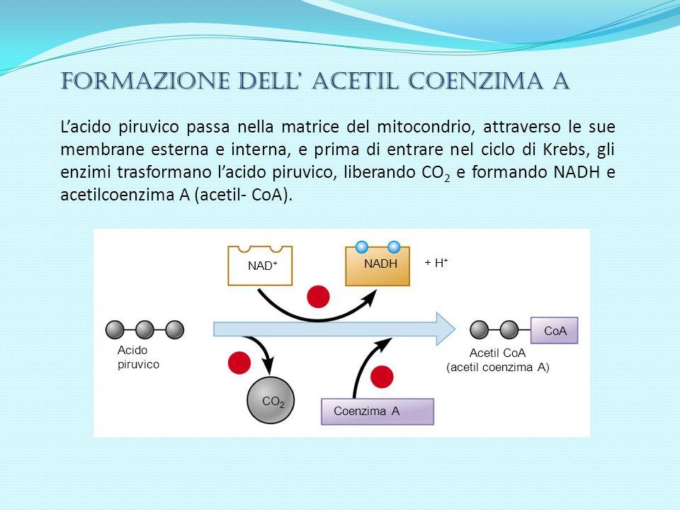 Formazione dell acetil coenzima A Lacido piruvico passa nella matrice del mitocondrio, attraverso le sue membrane esterna e interna, e prima di entrar