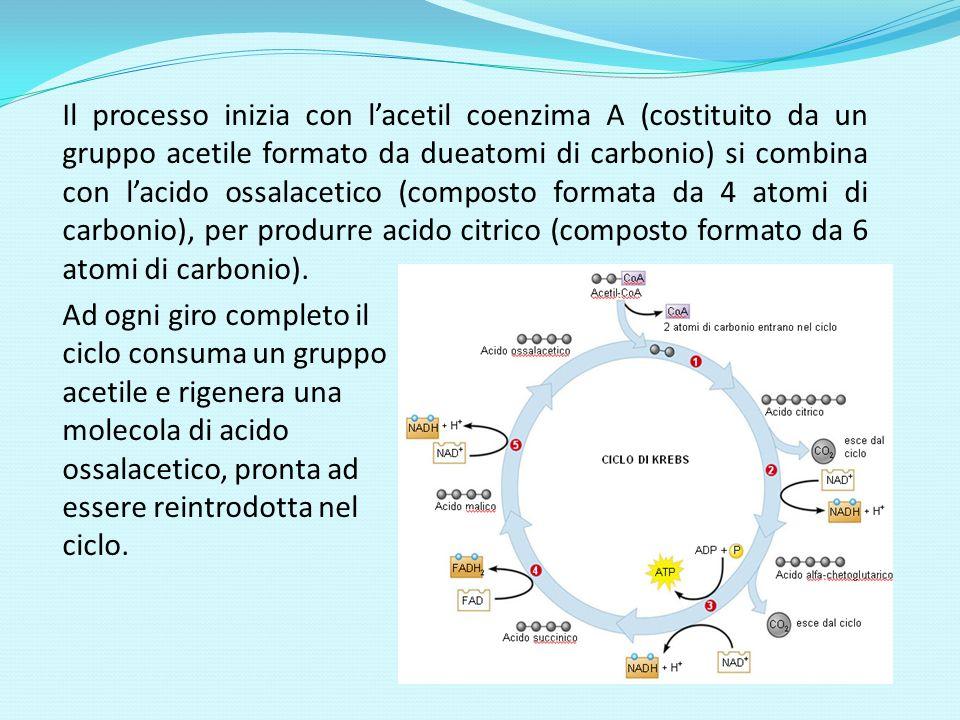 Il processo inizia con lacetil coenzima A (costituito da un gruppo acetile formato da dueatomi di carbonio) si combina con lacido ossalacetico (compos