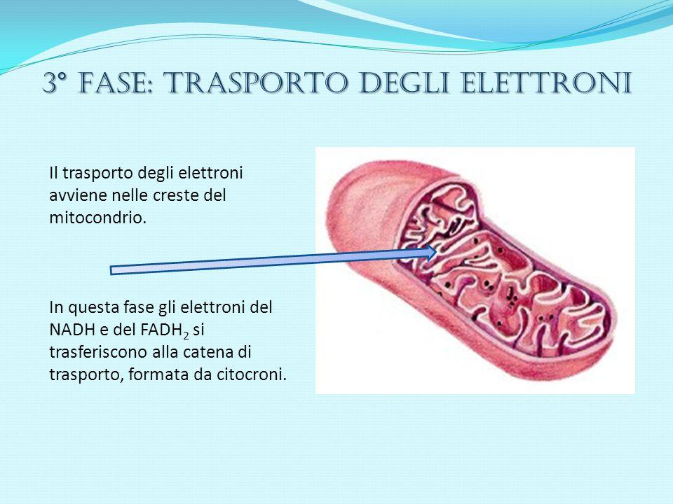 3° Fase: trasporto degli elettroni Il trasporto degli elettroni avviene nelle creste del mitocondrio. In questa fase gli elettroni del NADH e del FADH