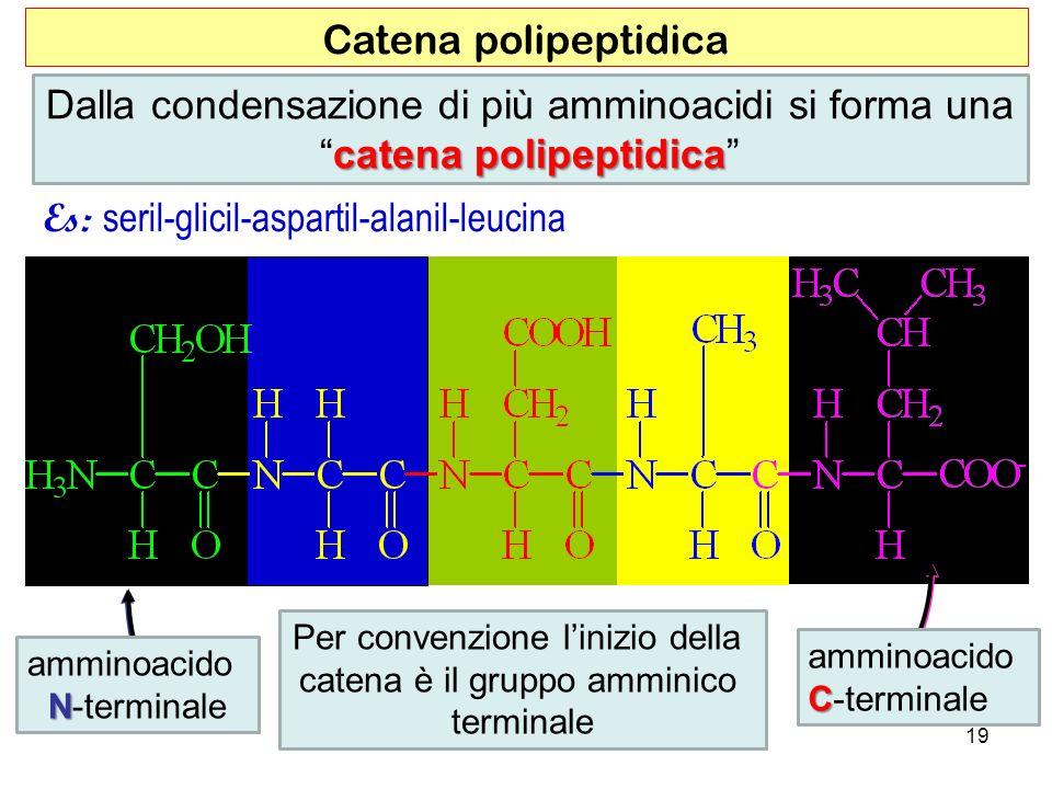 Es: seril-glicil-aspartil-alanil-leucina amminoacido N N-terminale amminoacido C C-terminale Catena polipeptidica Per convenzione linizio della catena