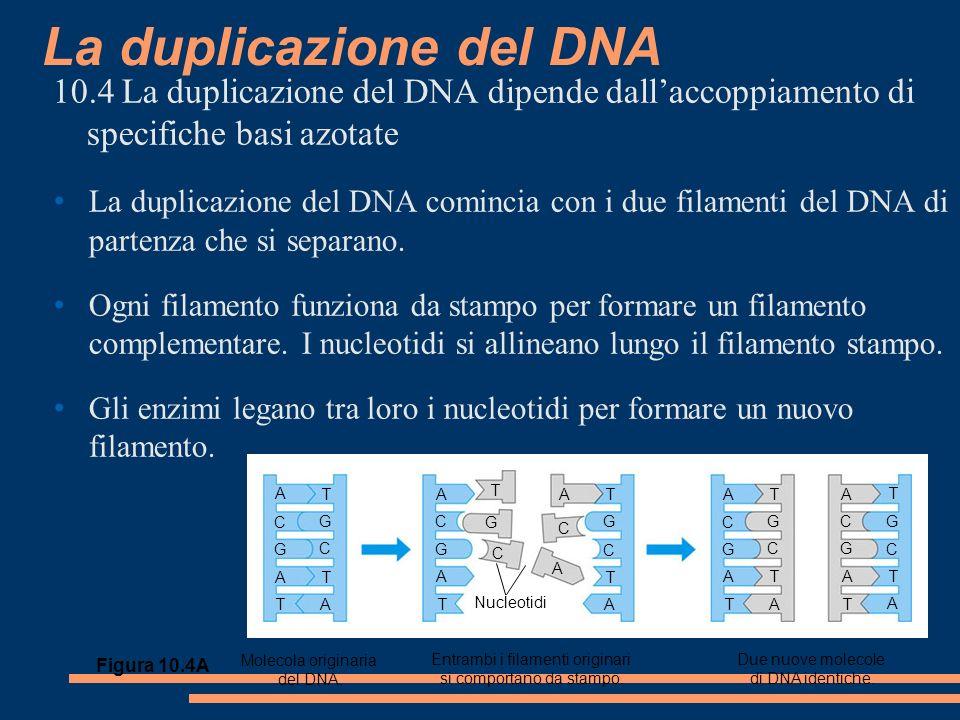 La duplicazione del DNA 10.4 La duplicazione del DNA dipende dallaccoppiamento di specifiche basi azotate La duplicazione del DNA comincia con i due filamenti del DNA di partenza che si separano.