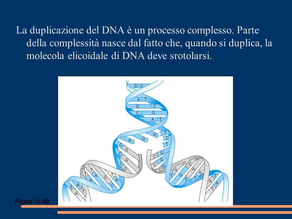La duplicazione del DNA è un processo complesso.
