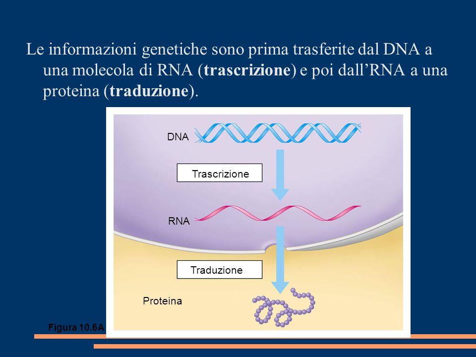 Le informazioni genetiche sono prima trasferite dal DNA a una molecola di RNA (trascrizione) e poi dallRNA a una proteina (traduzione).