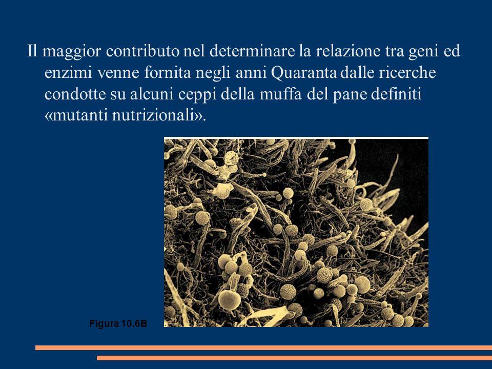 Il maggior contributo nel determinare la relazione tra geni ed enzimi venne fornita negli anni Quaranta dalle ricerche condotte su alcuni ceppi della muffa del pane definiti «mutanti nutrizionali».