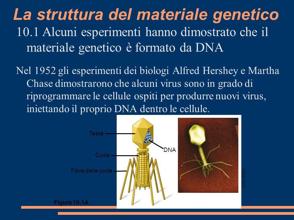 La struttura del materiale genetico 10.1 Alcuni esperimenti hanno dimostrato che il materiale genetico è formato da DNA Nel 1952 gli esperimenti dei biologi Alfred Hershey e Martha Chase dimostrarono che alcuni virus sono in grado di riprogrammare le cellule ospiti per produrre nuovi virus, iniettando il proprio DNA dentro le cellule.