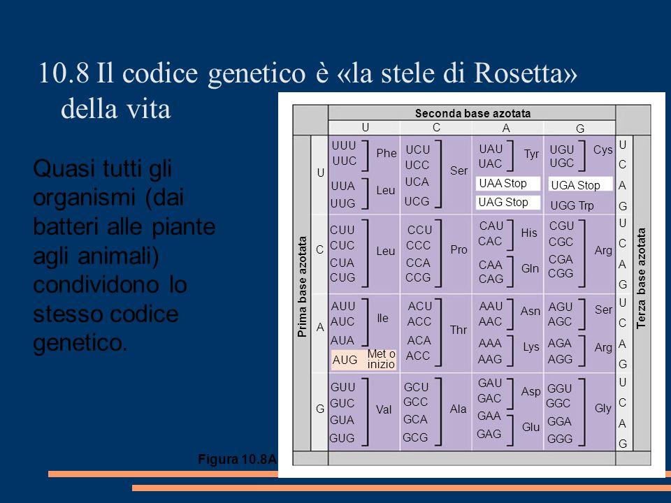 10.8 Il codice genetico è «la stele di Rosetta» della vita Figura 10.8A Quasi tutti gli organismi (dai batteri alle piante agli animali) condividono lo stesso codice genetico.