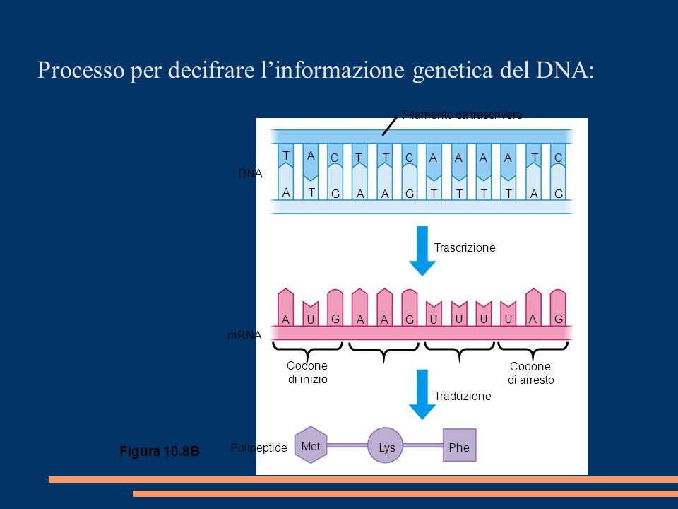 Processo per decifrare linformazione genetica del DNA: Figura 10.8B TA CTTCAAAATC AT GAAGTTTTAG AU G AAGU UUUAG Trascrizione Traduzione mRNA DNA Met LysPhePolipeptide Codone di inizio Codone di arresto Filamento da trascrivere