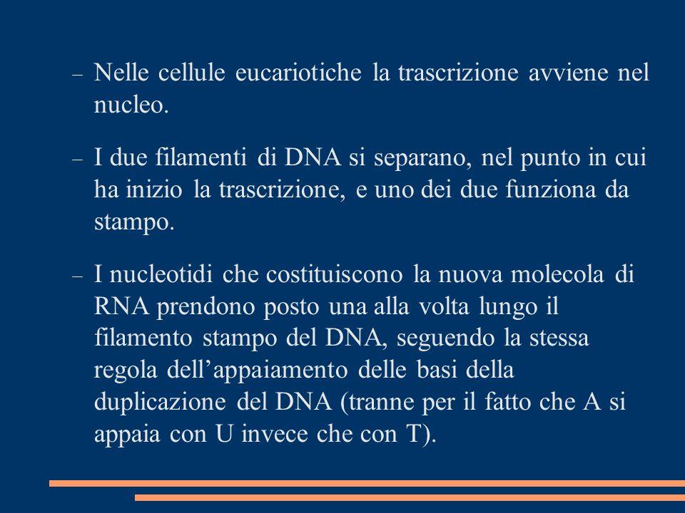 Nelle cellule eucariotiche la trascrizione avviene nel nucleo.