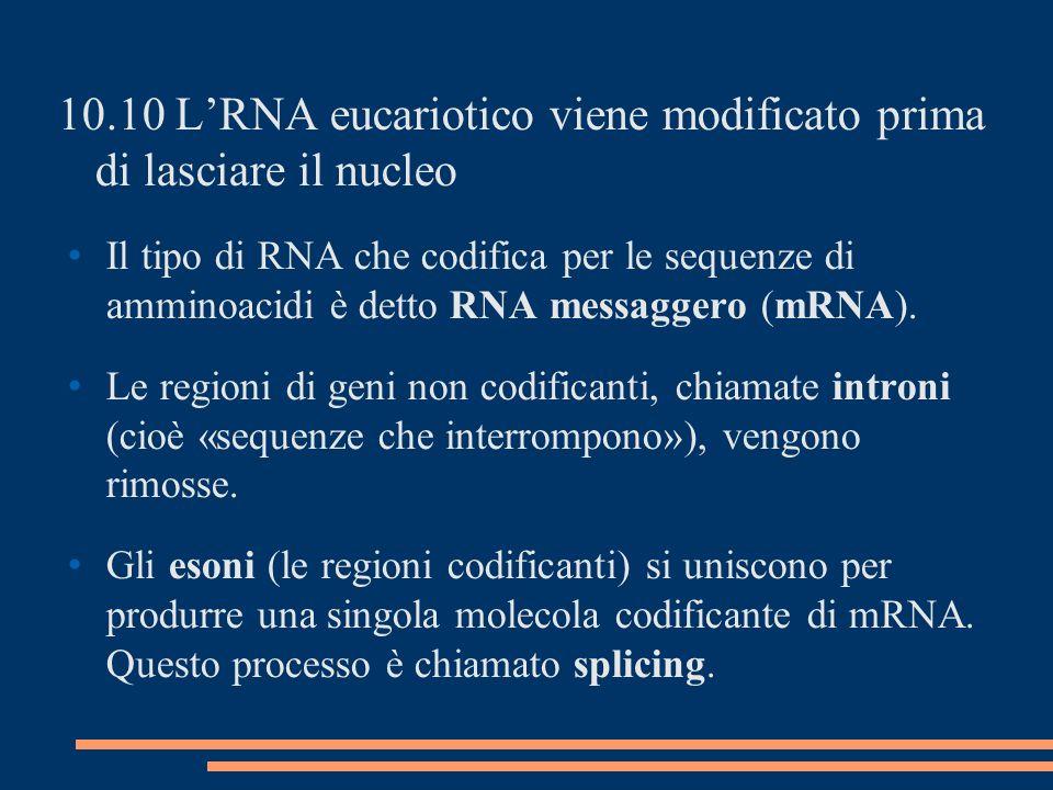 10.10 LRNA eucariotico viene modificato prima di lasciare il nucleo Il tipo di RNA che codifica per le sequenze di amminoacidi è detto RNA messaggero (mRNA).