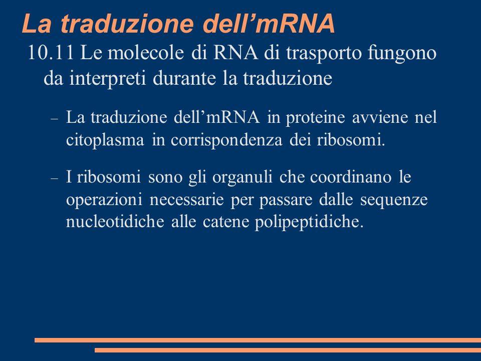 10.11 Le molecole di RNA di trasporto fungono da interpreti durante la traduzione La traduzione dellmRNA in proteine avviene nel citoplasma in corrispondenza dei ribosomi.