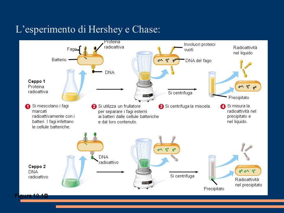 Lesperimento di Hershey e Chase: Fago Batterio Proteina radioattiva DNA DNA del fago Involucri proteici vuoti Radioattività nel liquido Precipitato Si centrifuga Ceppo 1 Proteina radioattiva Ceppo 2 DNA radioattivo DNA radioattivo Si centrifuga Precipitato Radioattività nel precipitato Figura 10.1B Si mescolano i fagi marcati radioattivamente con i batteri.