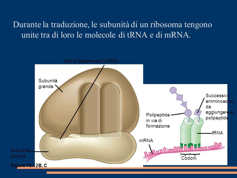Durante la traduzione, le subunità di un ribosoma tengono unite tra di loro le molecole di tRNA e di mRNA.