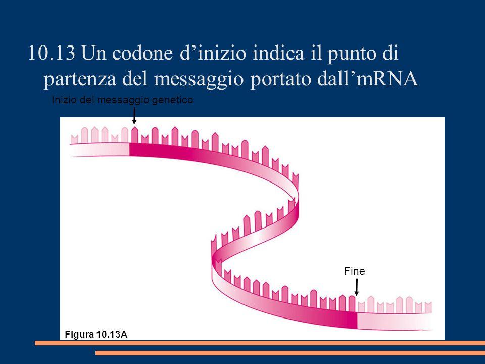 10.13 Un codone dinizio indica il punto di partenza del messaggio portato dallmRNA Inizio del messaggio genetico Fine Figura 10.13A