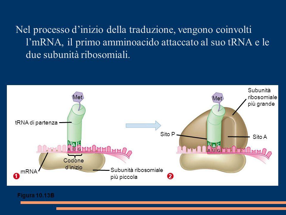 Met tRNA di partenza mRNA Subunità ribosomiale più piccola Codone dinizio Subunità ribosomiale più grande Sito A U A CA U C A U G Sito P Nel processo dinizio della traduzione, vengono coinvolti lmRNA, il primo amminoacido attaccato al suo tRNA e le due subunità ribosomiali.