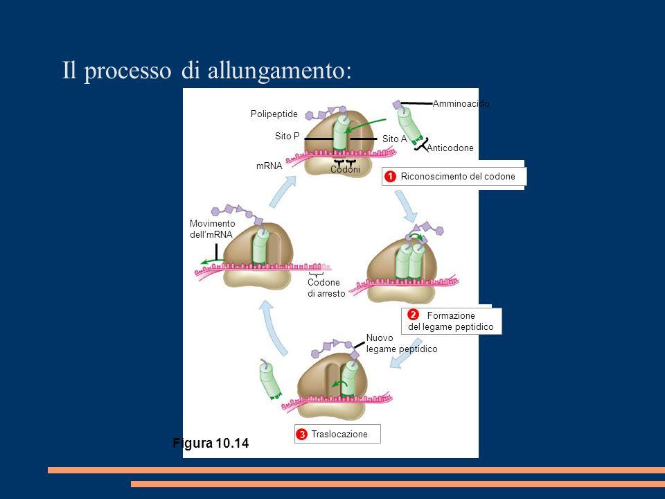 Polipeptide Sito P mRNA Codoni Movimento dellmRNA Codone di arresto Nuovo legame peptidico Anticodone Amminoacido Sito A 1 2 3 Traslocazione Il processo di allungamento: Traslocazione 3 Figura 10.14 Riconoscimento del codone 1 Formazione del legame peptidico 2