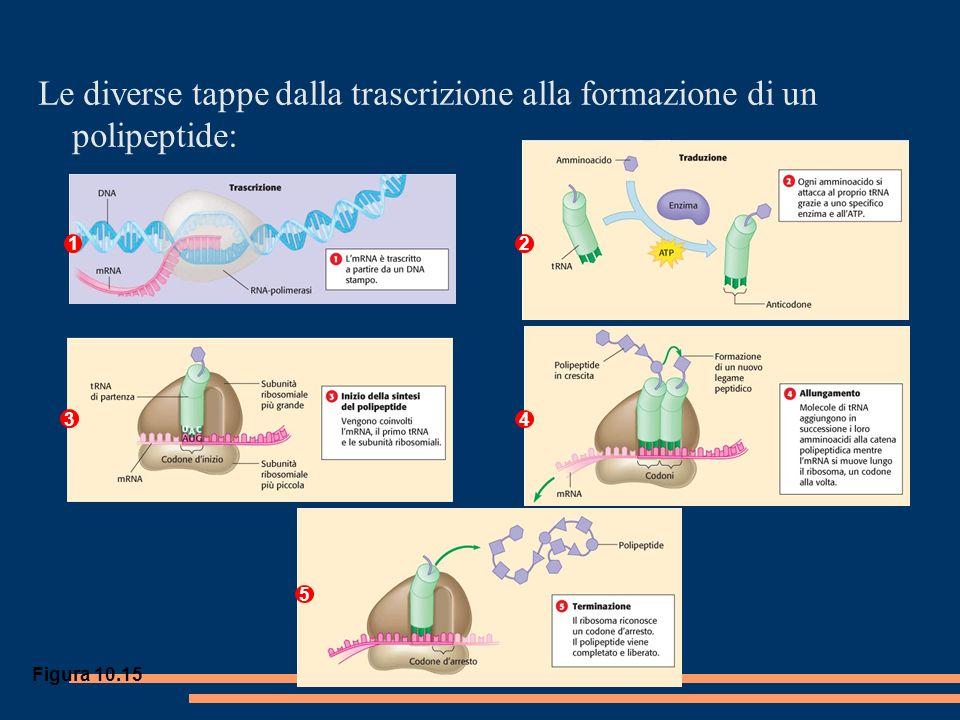 Figura 10.15 Le diverse tappe dalla trascrizione alla formazione di un polipeptide: 1 5 4 3 2