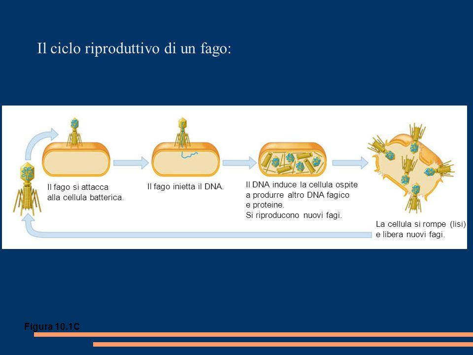 In un fago esistono due tipi di cicli riproduttivi: Il batterio lisogeno si riproduce normalmente, duplicando il profago a ogni divisione cellulare Il DNA fagico si inserisce nel cromosoma batterico per ricombinazione Vengono sintetizzati nuovo DNA fagico e nuove proteine Si assemblano i fagi La cellula si rompe liberando i fagi Il fago si attacca alla cellula DNA del fago Il fago inietta DNA Numerose divisioni cellulari Profago Ciclo liticoCiclo lisogeno OPPURE Cromosoma batterico Il DNA fagico assume un aspetto circolare Figura 10.17 1 2 3 4 5 6 7 1