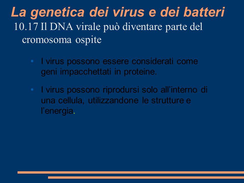 La genetica dei virus e dei batteri 10.17 Il DNA virale può diventare parte del cromosoma ospite I virus possono essere considerati come geni impacchettati in proteine.