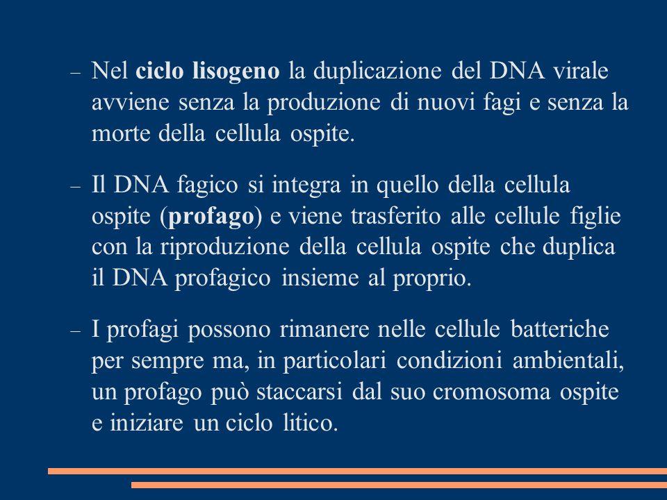 Nel ciclo lisogeno la duplicazione del DNA virale avviene senza la produzione di nuovi fagi e senza la morte della cellula ospite.